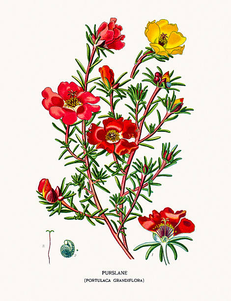 Purslane Clip Art, Vector Images & Illustrations.