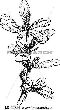 Clip Art of Common Purslane or Portulaca oleracea vintage.