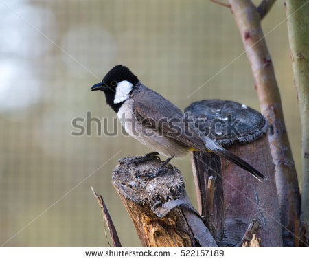 White Cheeked Bulbul Stock Photos, Royalty.