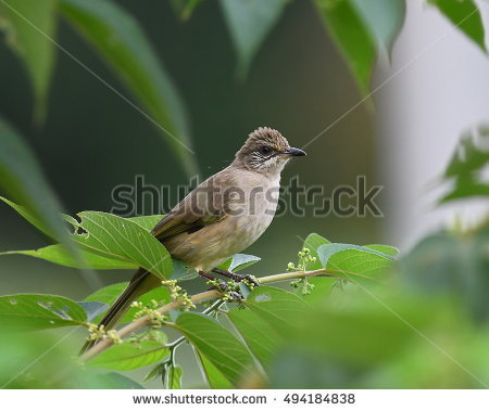 Pycnonotidae Stock Photos, Royalty.