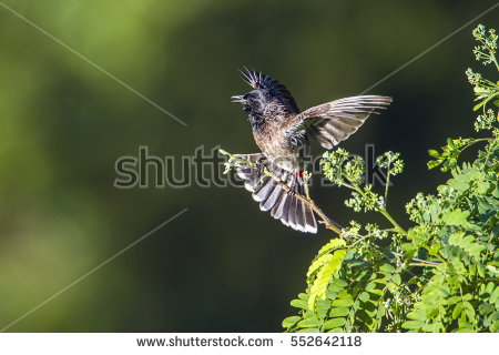 Bulbul Stock Photos, Royalty.