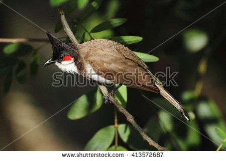 Pycnonotus Jocosus Stock Photos, Royalty.