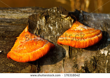 Pycnoporus Cinnabarinus Stock Photos, Images, & Pictures.