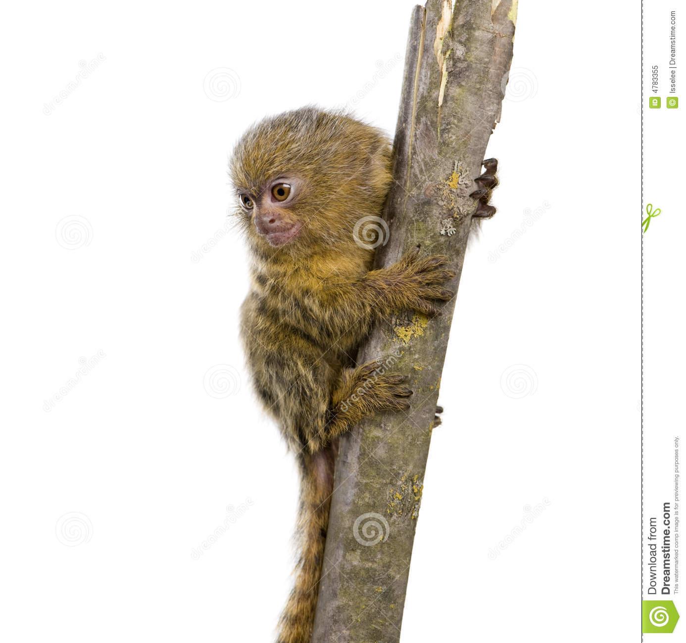 Pygmy Marmoset Monkey Stock Photos, Images, & Pictures.