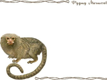 Pygmy Marmoset, Dwarf Monkey clipart graphics (Free clip art.