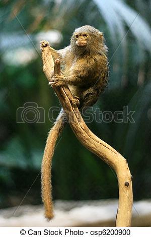 Stock Photography of Pygmy Marmoset Monkey, Vancouver, Canada.