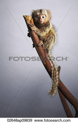 Marmoset Stock Photos and Images. 673 marmoset pictures and.