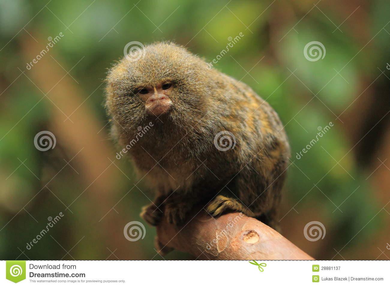Pygmy Marmoset Stock Photography.