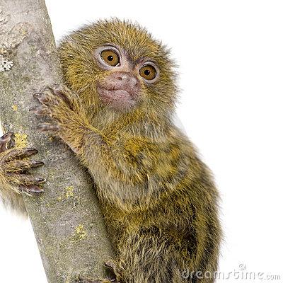Pygmy Marmoset (5 Weeks).