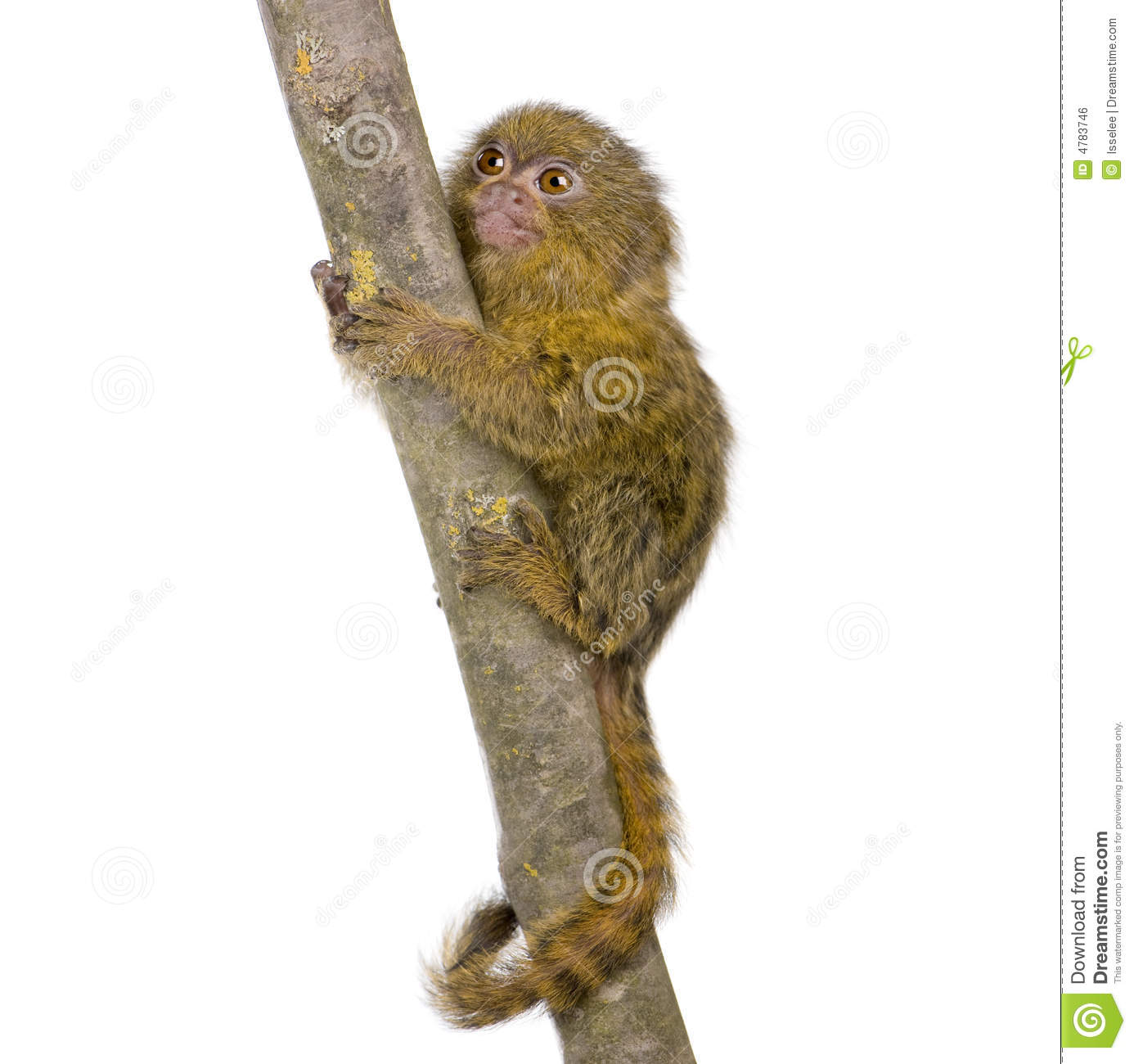 Pygmy Marmoset (5 Weeks) Royalty Free Stock Image.
