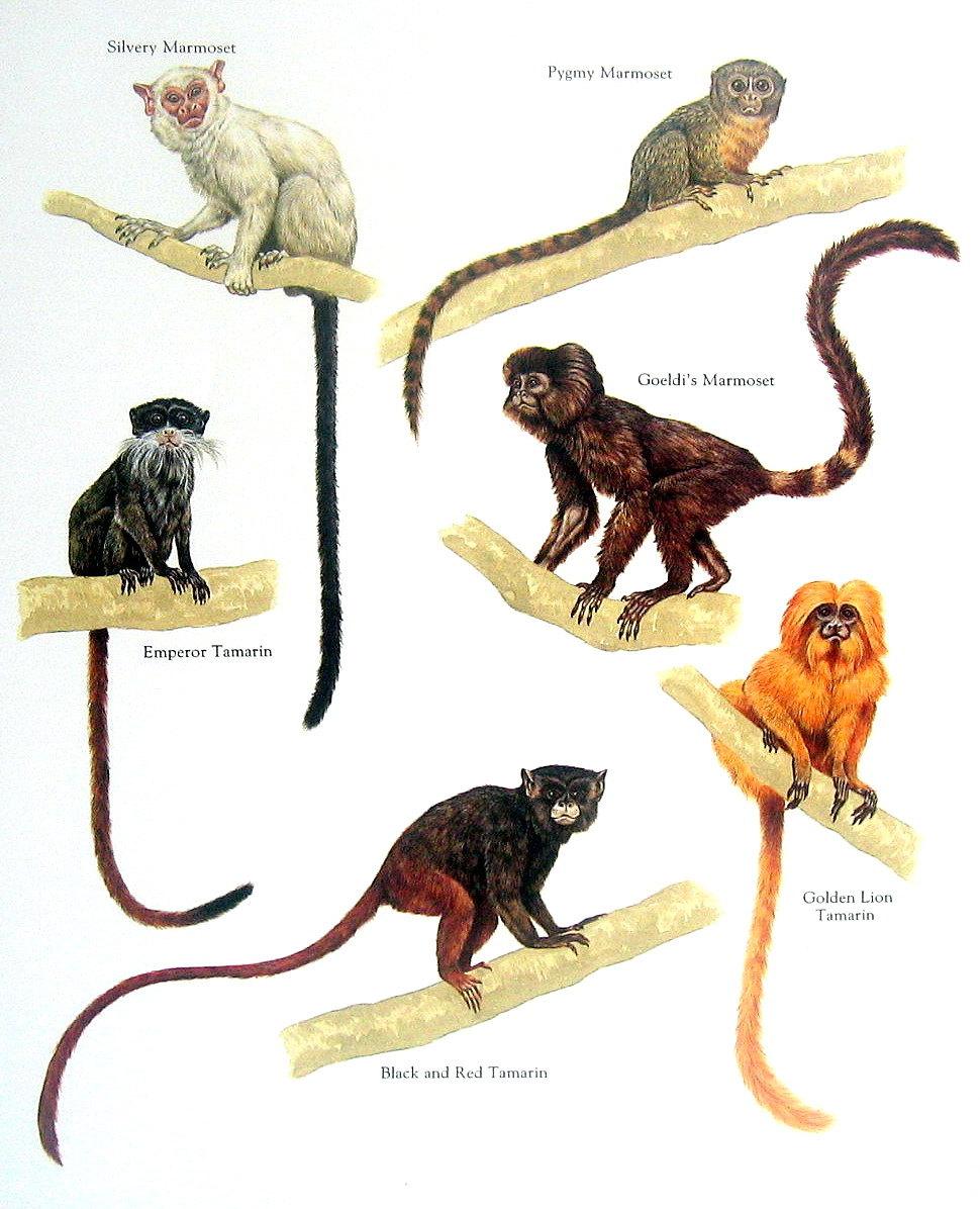 Pygmy marmoset.