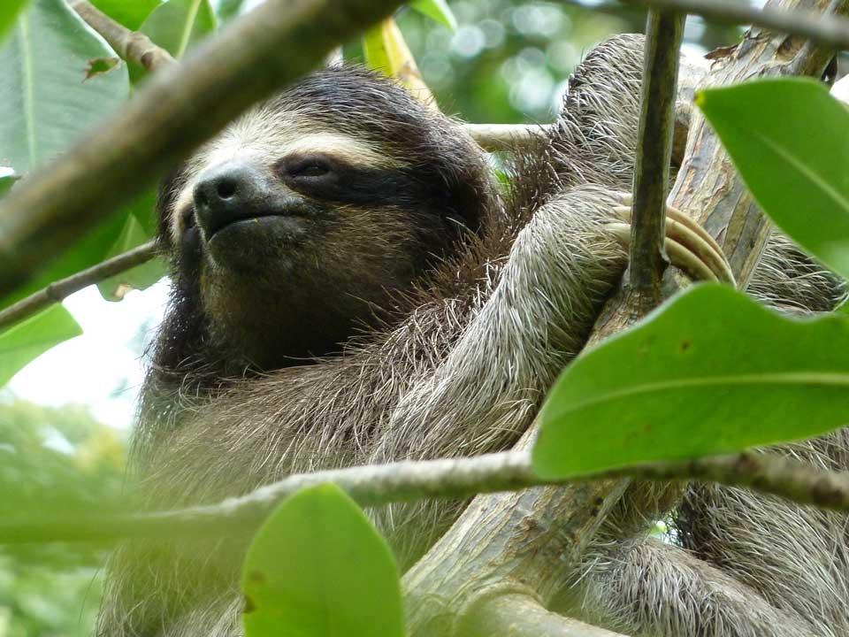 Jakob Shockey: Pygmy Sloths of Panama.