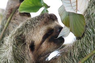 Pygmy sloth on emaze.