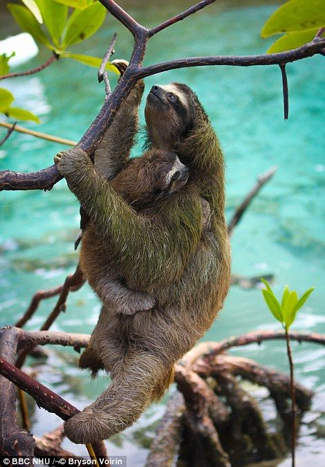 1000+ ideas about 2 Toed Sloth on Pinterest.