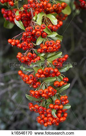 Stock Photography of Red firethorn (pyracantha) fruits closeup.