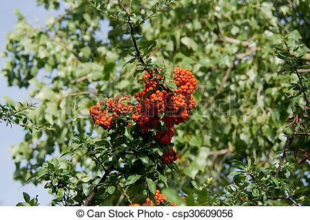 Stock Images of Fire Thorn (Pyracantha coccinea).