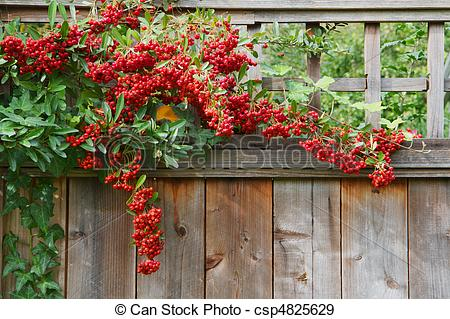 Stock Photographs of Red pyracantha berries fence close.