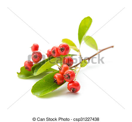 Stock Photos of Pyracantha, firethorn berries isolated on white.