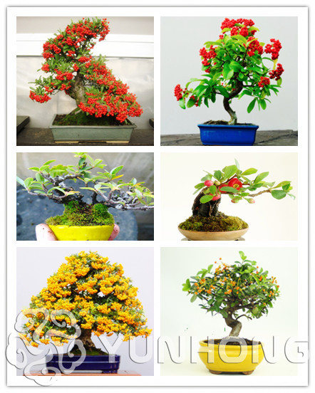 Compare Prices on Pyracantha Plant.