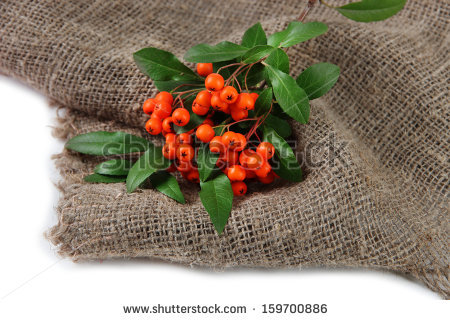 Pyracantha Berries Isolated Leaves Stock Photos, Royalty.