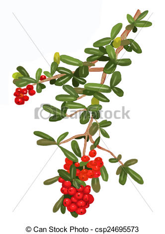 Stock Illustrations of Pyracantha plant 2.