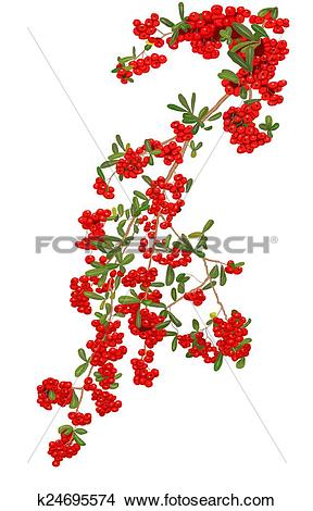 Drawings of Pyracantha plant 1 k24695574.