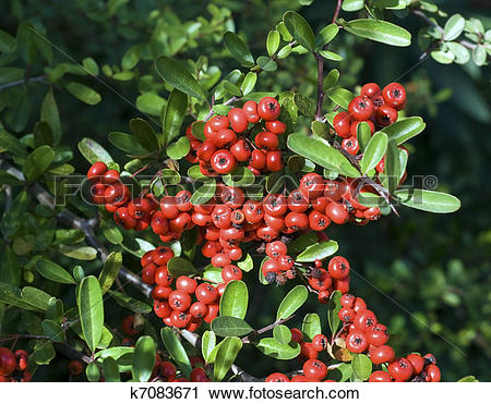 Stock Photography of Firethorn Berries Pyracantha k7083671.