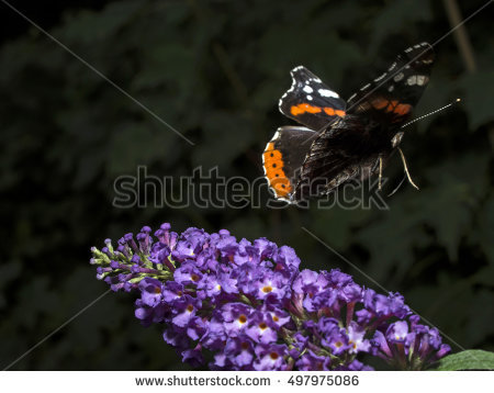 red Admiral Stock Photos, Royalty.