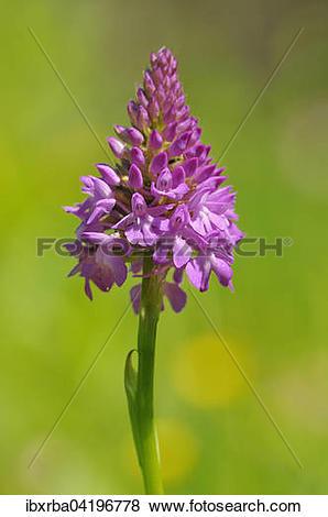 Pictures of Pyramidal Orchid (Anacamptis pyramidalis.