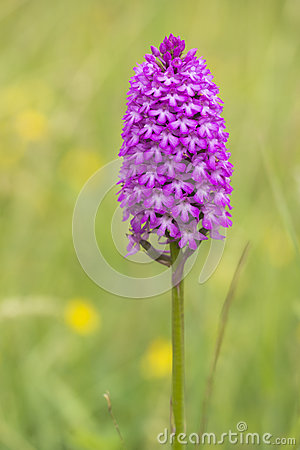 Pyramidal Orchid Isolated On White.
