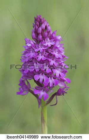 Stock Photograph of Pyramidal Orchid (Orchis pyramidalis.