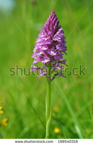 Pyramidal orchid Stock Photos, Images, & Pictures.
