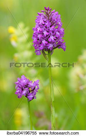 Stock Image of Pyramidal Orchid (Anacamptis pyramidalis.