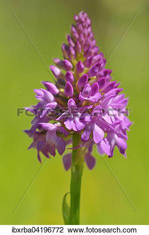 Stock Photo of Pyramidal Orchid (Anacamptis pyramidalis.