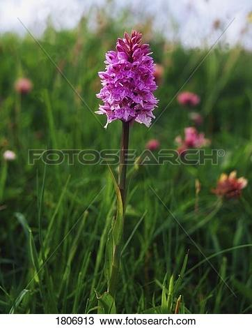Stock Photo of Pyramidal Orchid, Mannin Bay, Co Galway, Ireland.