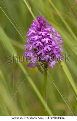 Pyramidal Orchid Stock Photos, Royalty.