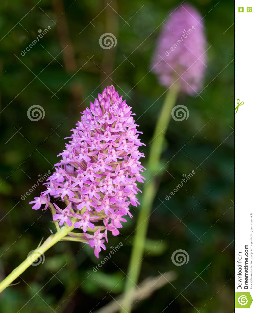 Orchis Pyramidalis In Hedgerow. Italy. Stock Photo.