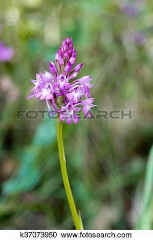 Stock Photography of Anncamptis pyramidalis, Pyramidal pink wild.