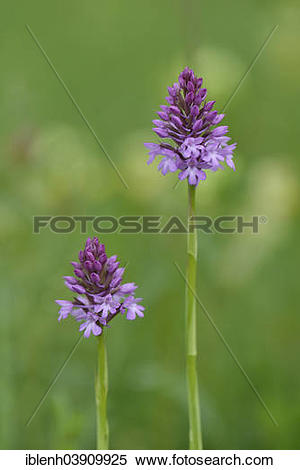 "Stock Image of ""Pyramid Orchids (Anacamptis pyramidalis), Baden."