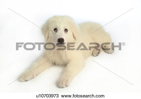 Stock Photo of canine, great pyrenees, animal, mammal, pyrenees.