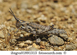 Pyrgomorphidae Stock Photos and Images. 14 pyrgomorphidae pictures.
