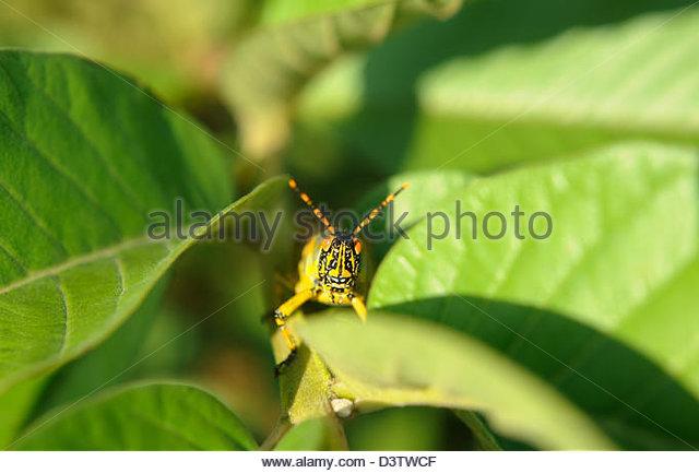 Elegant Grasshopper Stock Photos & Elegant Grasshopper Stock.