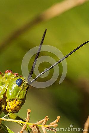 Green Milkwood Locust Stock Photo.