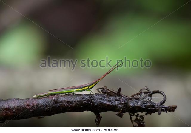 Gaudy Grasshopper Stock Photos & Gaudy Grasshopper Stock Images.
