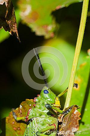 African Locust Royalty Free Stock Photos.