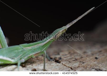 Pyrgomorphidae Stock Photos, Royalty.