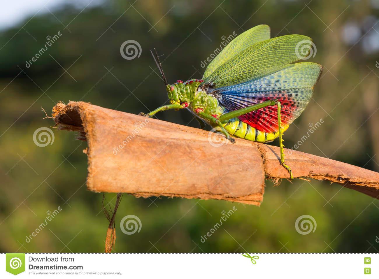 Green Milkwood Locust, Or African Bush Grasshopper Stock Photo.