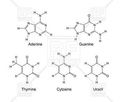 Purine and pyrimidine nitrogenous bases.