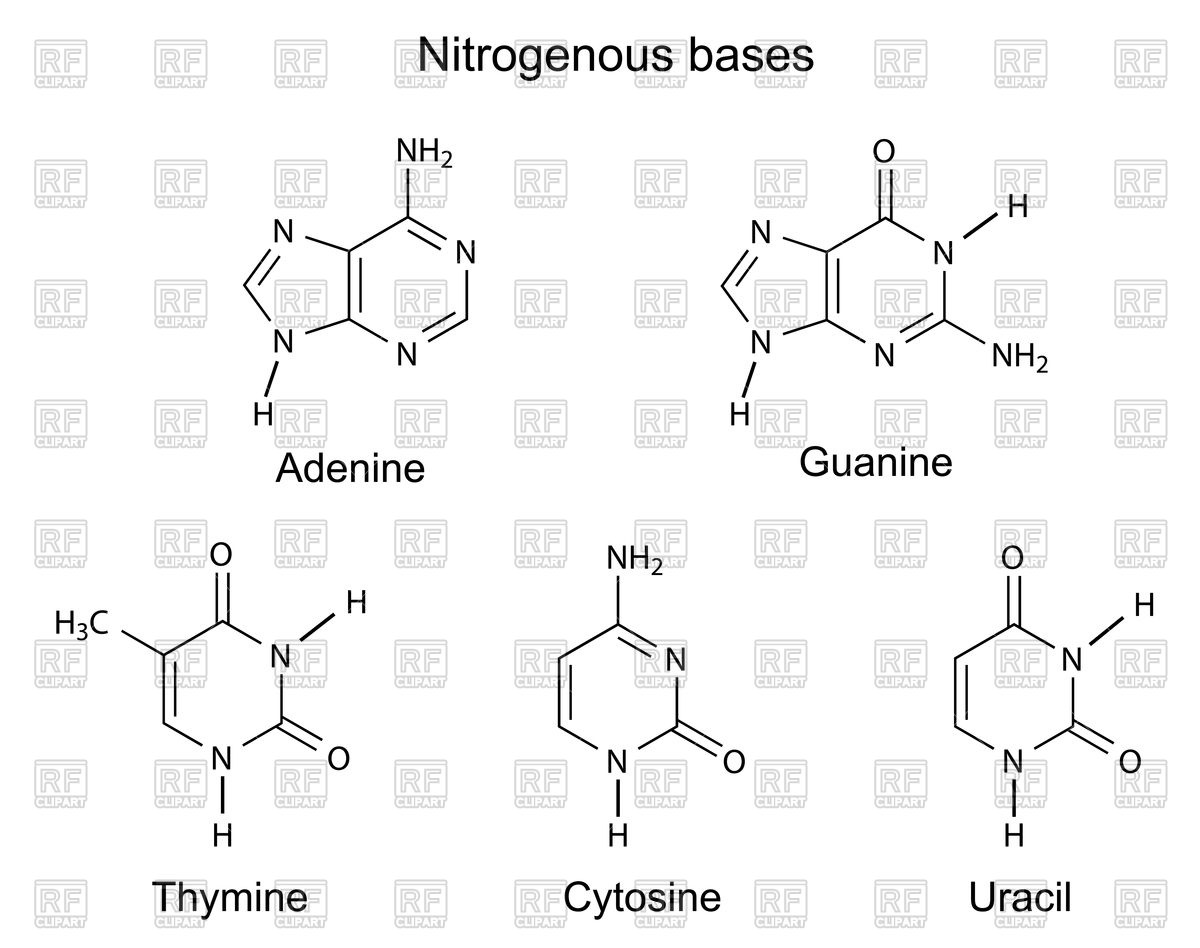 Structural formulas of purine and pyrimidine nitrogenous bases of.