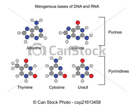 Clipart Vector of Nitrogenous bases.